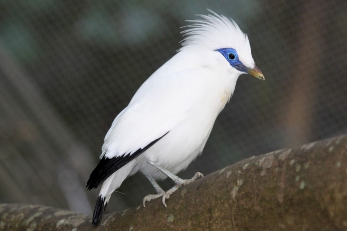 The story of Bali Starling is almost extinct