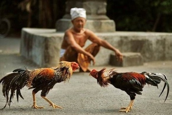 Explore more the role of chickens for Balinese Hindus